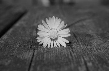 daisy-75191_1920